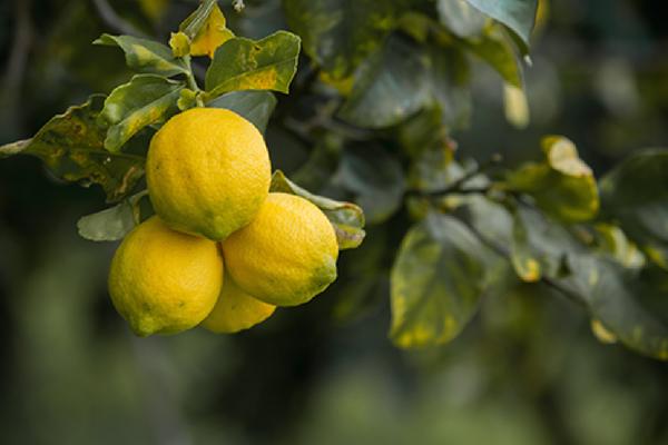 limoni-biologici