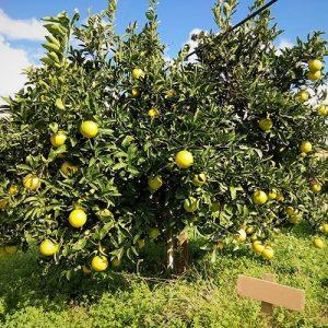 adozione albero d'arancio