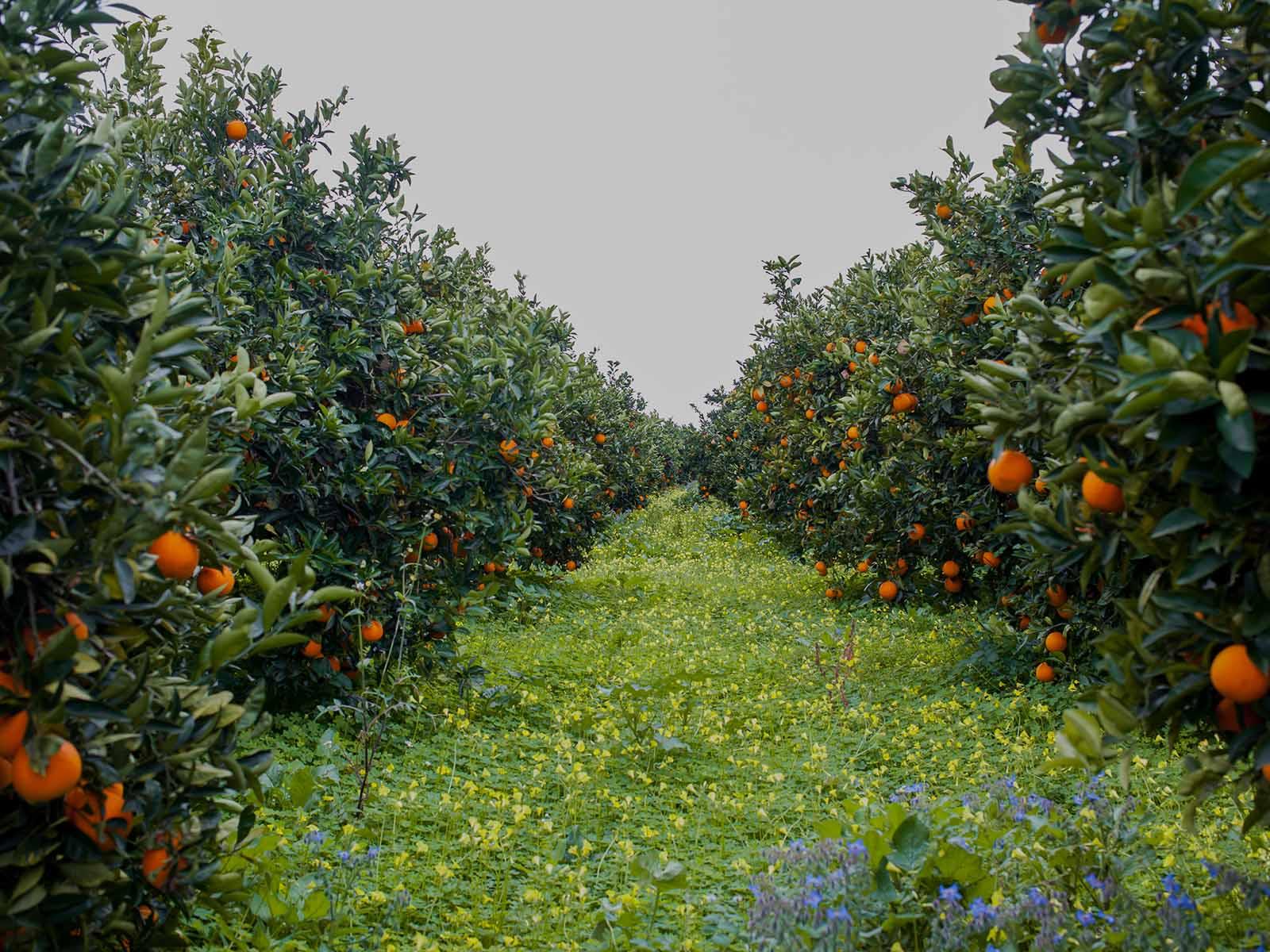 agrumeto in Sicilia