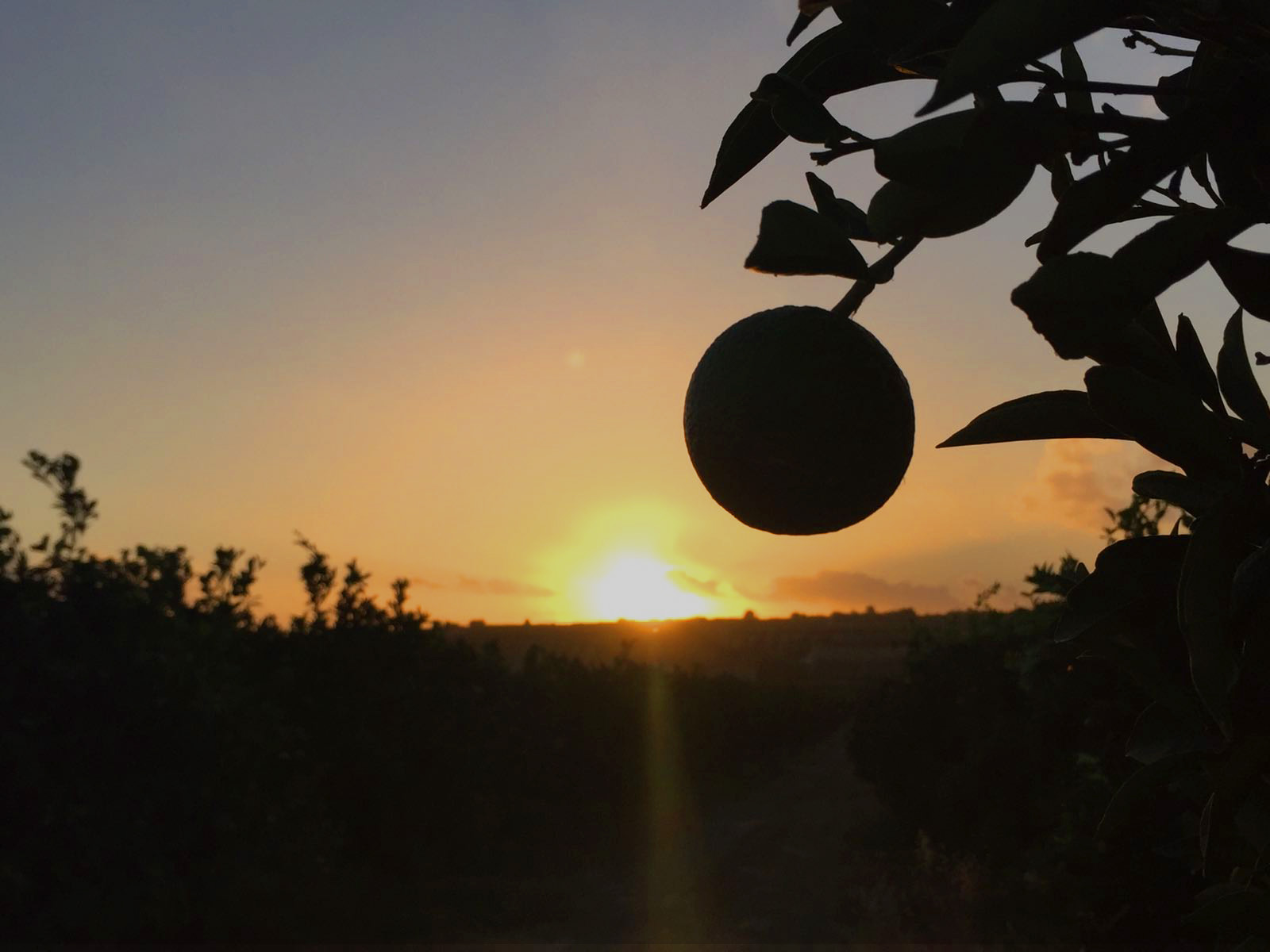 arance bio di Sicilia